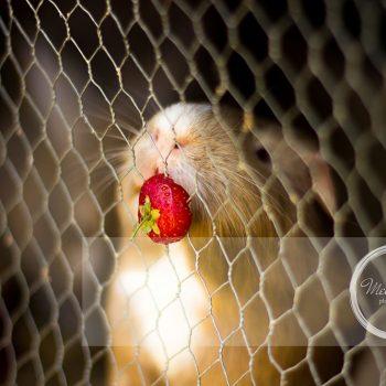 Mel Hudson Family Photography Belfast, Henry the Hamster eating Strawberry